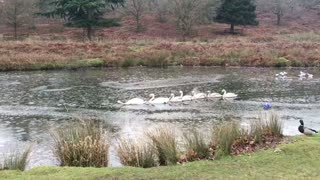 Swans Blaze Trail Through Icy Pond