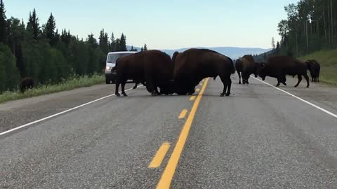 Amazing Close Footage Of A Buffalo Fight In The Middle Of A Highway