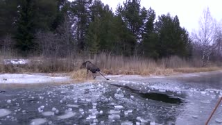 Saving a Moose From Drowning in Ice - Video