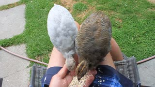Baby Guinea Fowl eating out of my hand on my knee  - Video
