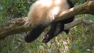 Panda tests balancing skills while retrieving bamboo