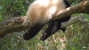Panda tests balancing skills while retrieving bamboo - Video