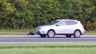 Wild turkey attacks passing vehicles