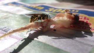 wasp don't eat meat - Video