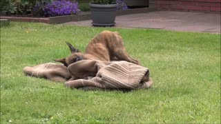 Puppy versus blanket- So cute! - Video