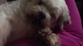 Bossy dog won't let me stop petting her - Video