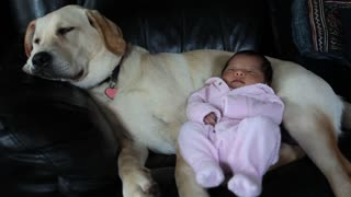 Baby enjoys relaxing cuddle with sleeping Labrador