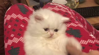Persian white kitten with blue eyes! - Video