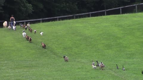 Dogs, ducks, goats and chickens incredibly walk in single file line