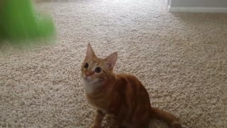 Nacho the cat loves to play fetch - Video
