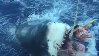 Slow Motion Shark Attack - Must see - Video