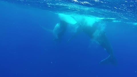 Divers in Tonga have close-encounter with humpback whales
