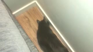 Big cat playing with huge spider