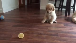 Golden Retriever puppy severely confused by lemon slice