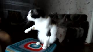 Funny cat Murka give each paw Subtitle Funny video about cats - Video