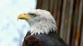 How beautiful this bald eagle
