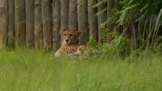 Seven new cheetahs at German zoo - Video