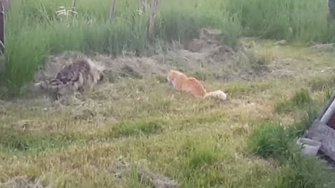 Giant porcupine casually walks past uninterested cat