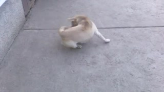 Dog goes insane chasing his tail