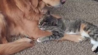 Golden Retriever puts up with overly-affectionate cat - Video