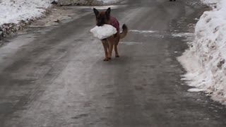 Dog Carries her Prized Possession  - Video