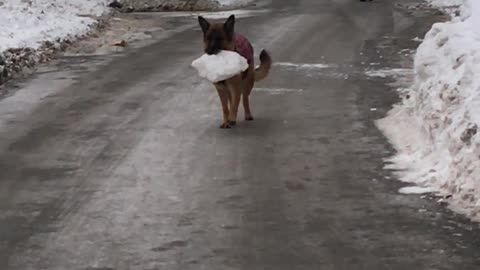 Dog Carries her Prized Possession