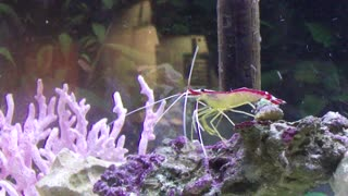 Skunk Shrimp in home tank - Video