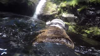 Dog swimming towards waterfall  - Video