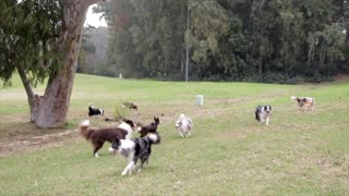A group of dogs playing on the farm