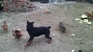 Fearless bunny befriends playful Rottweiler - Video