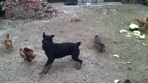 Fearless bunny befriends playful Rottweiler