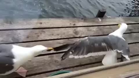 Needy Seagull Refuses To Let Go Of Partner