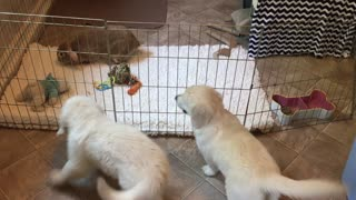 Golden Retriever puppies excited to see pet rabbit