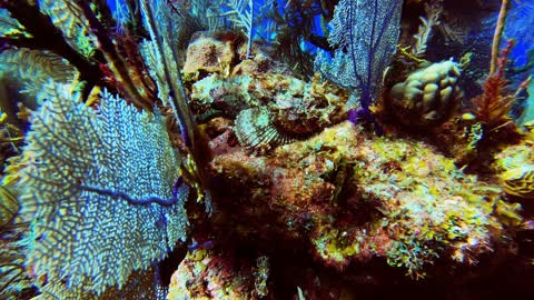 Scorpion fish has deadly sting and near perfect camouflage