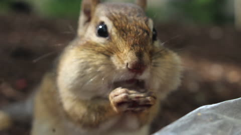 Friendly chipmunks come right up close for a snack