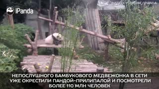 Cute Funniest Panda panda bear