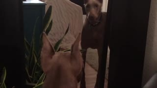 Dog defends humans from own mirror reflection
