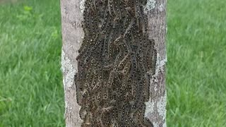 Massive caterpillar cluster on backyard tree - Video