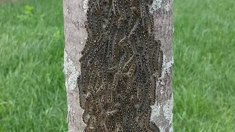 Massive caterpillar cluster on backyard tree