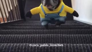 Bulldogs franceses desfilan sus adorables disfraces de Minion - Video