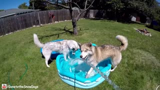 Epic husky summer pool party time