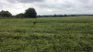Dog loses his ball in high wheat - Video