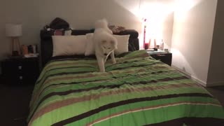 Dog trying to find the phone on the bed - Video