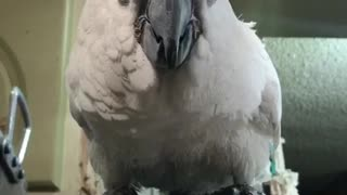 Cookie the cockatoo says hi  - Video