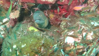 Shrimp Clean Moray Eel - Video