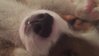7-week-old corgi puppy takes a snooze - Video