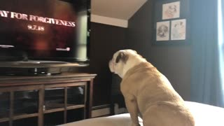 English Bulldog reacts to new horror trailer
