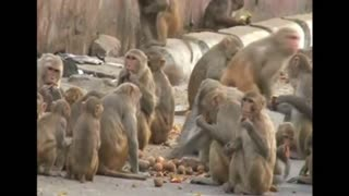 Monkeys force residents to be prisoners in own homes - Video