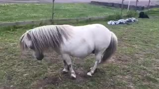 Shetland pony shows off his piaffe - Video