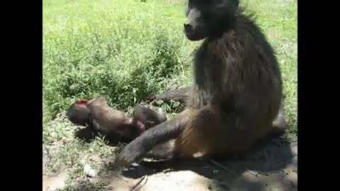 Orphaned baboons look after each other